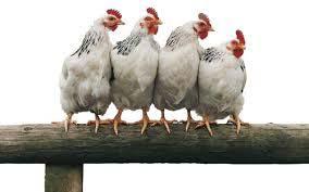 Le galline ovaiole di Busto Garolfo e il senso della politica